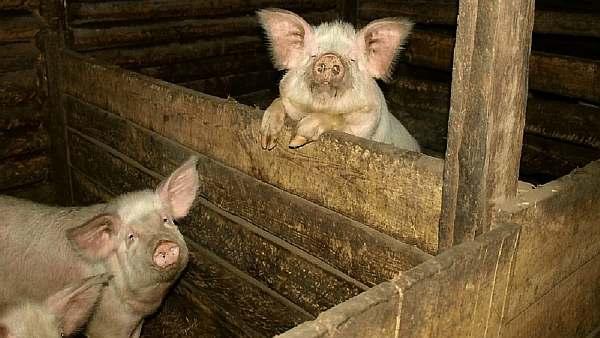 Свинарник на даче